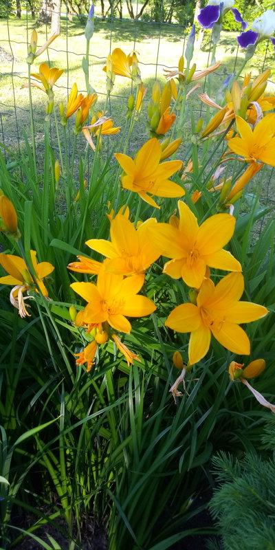 Midendorfa dienziede (pavasara dienziede)