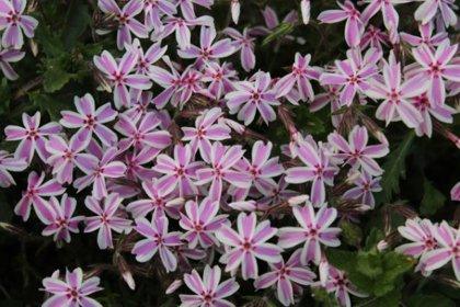 Pavasarī ziedoši augi